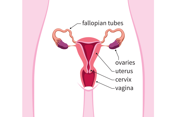 What Is The Uterus Made Of