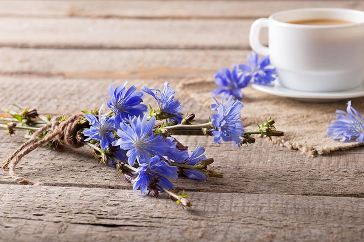 Chicory During Pregnancy
